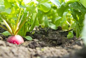 A close up of a radish growing out of the soil