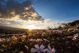 A low sun sets over a grassy hill with small pink flowers in the foreground